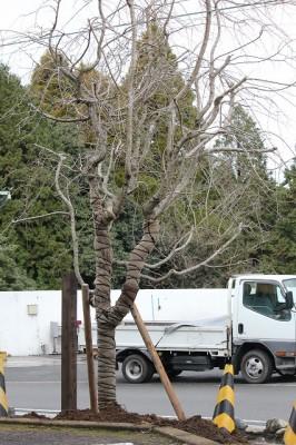 植樹されたシダレ桜の木