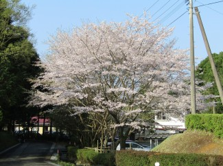 見事!満開の桜!