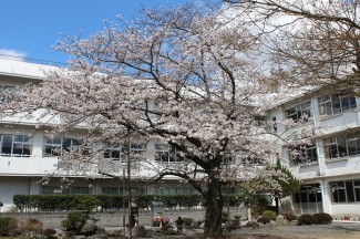 こちらは本校中庭の桜