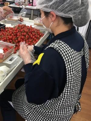トマトの袋づめ作業